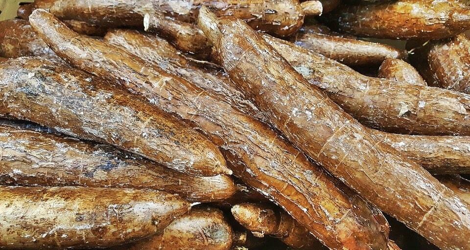 cassava or yuca
